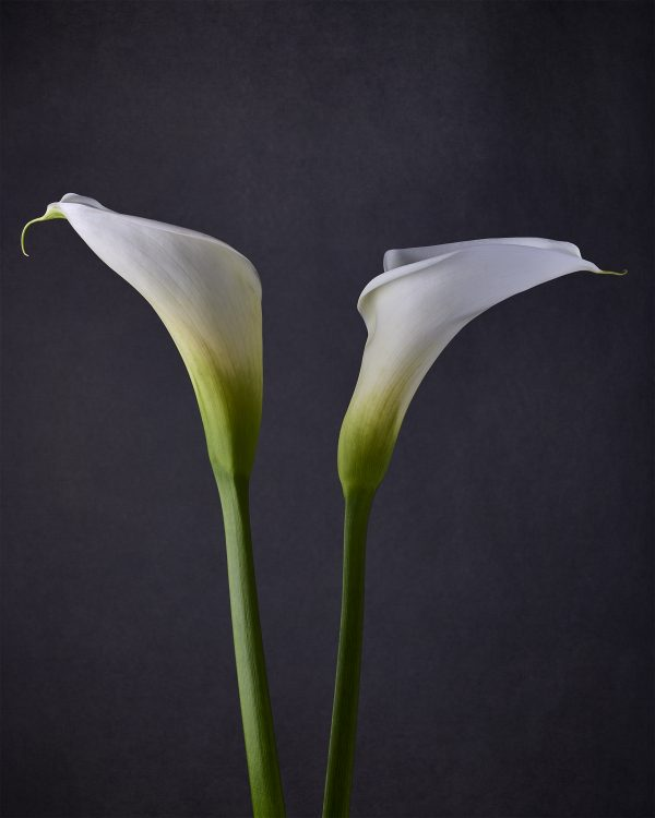 call lilies II - jon kempner photography