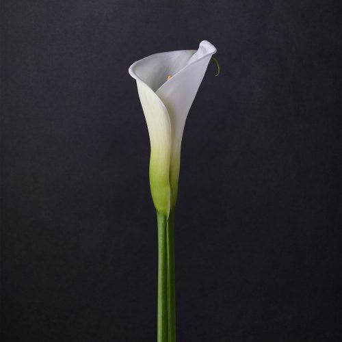 calla lilies I - jon kempner photography
