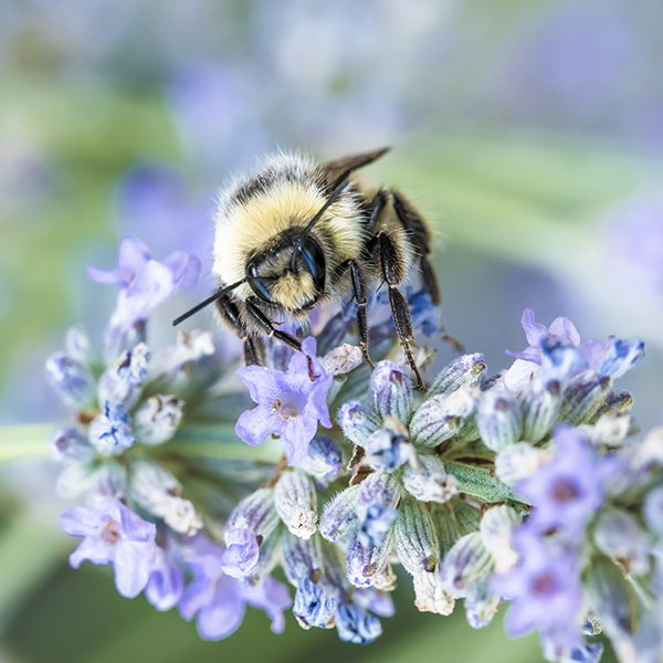 Bee on Lavender ©Jon Kempner Photography