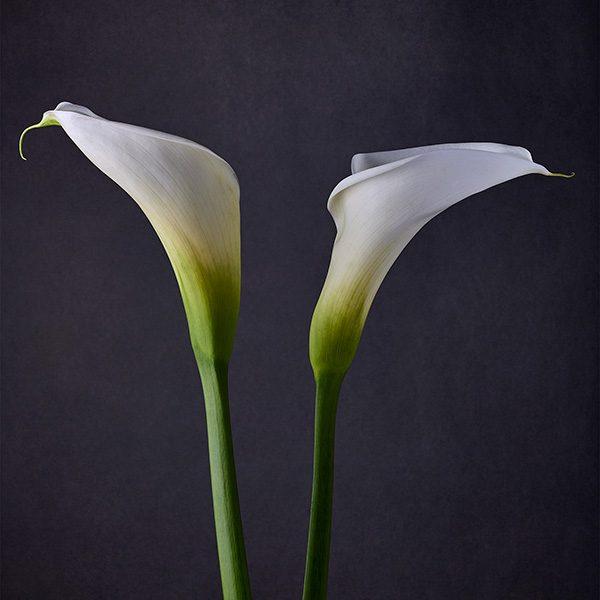 calla lilies II - jon kempner photography